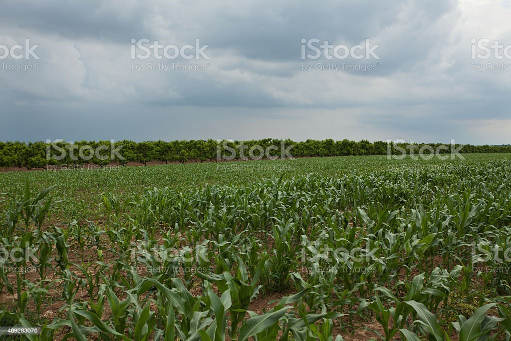 Corn crop with peach orchard in background with overcast sky stock photo