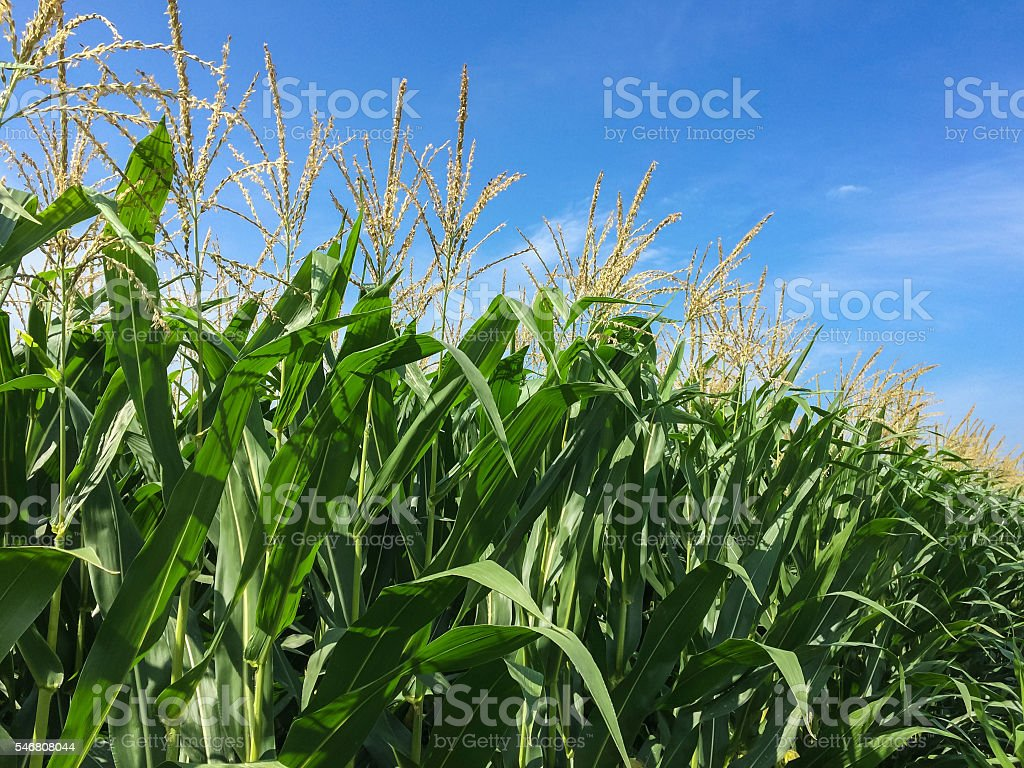 Corn crop with tassels stock photo