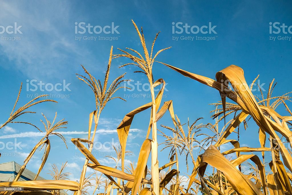 Corn crops died due to drought with blue sky stock photo