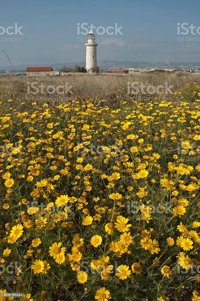 corn daisy (Glebionis segetum) stock photo