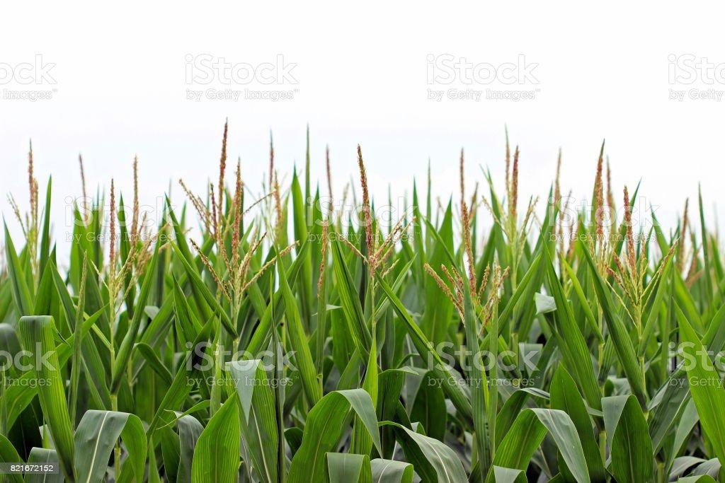 Corn daze stock photo