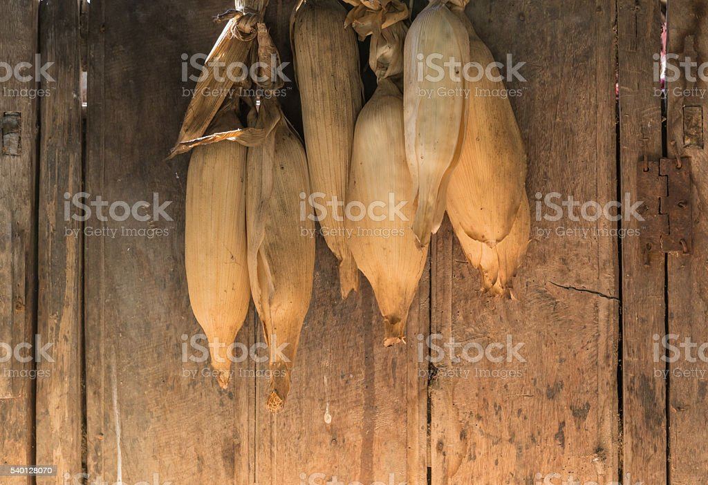 corn dried ready for collection stock photo