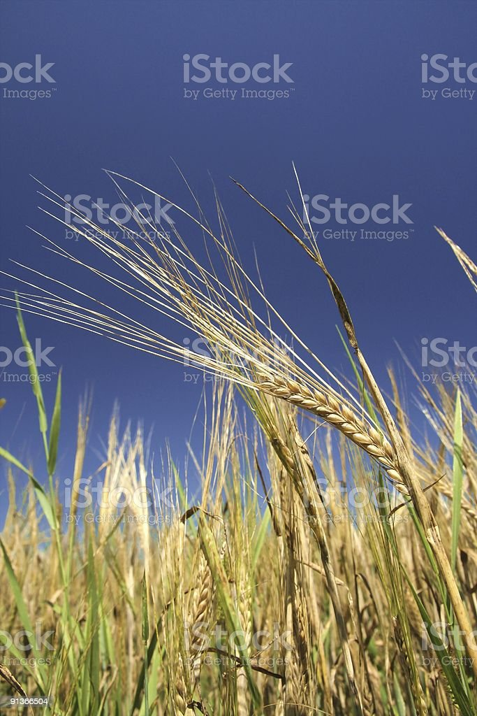 corn ears'  sky stock photo