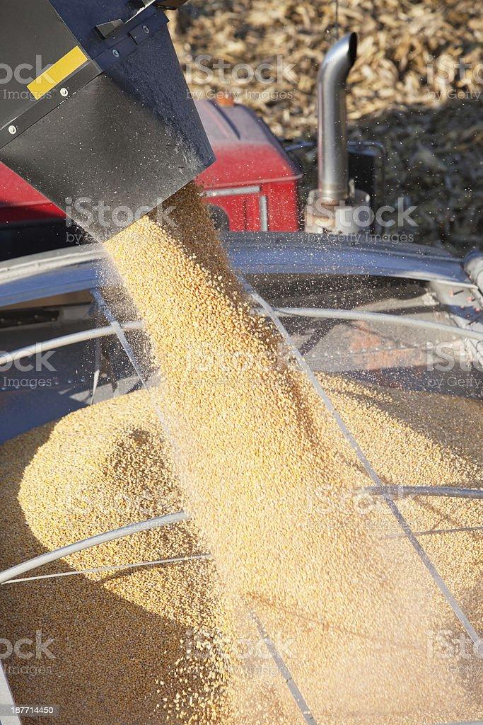 Corn Falling from Grain Cart into Semi Trailer stock photo