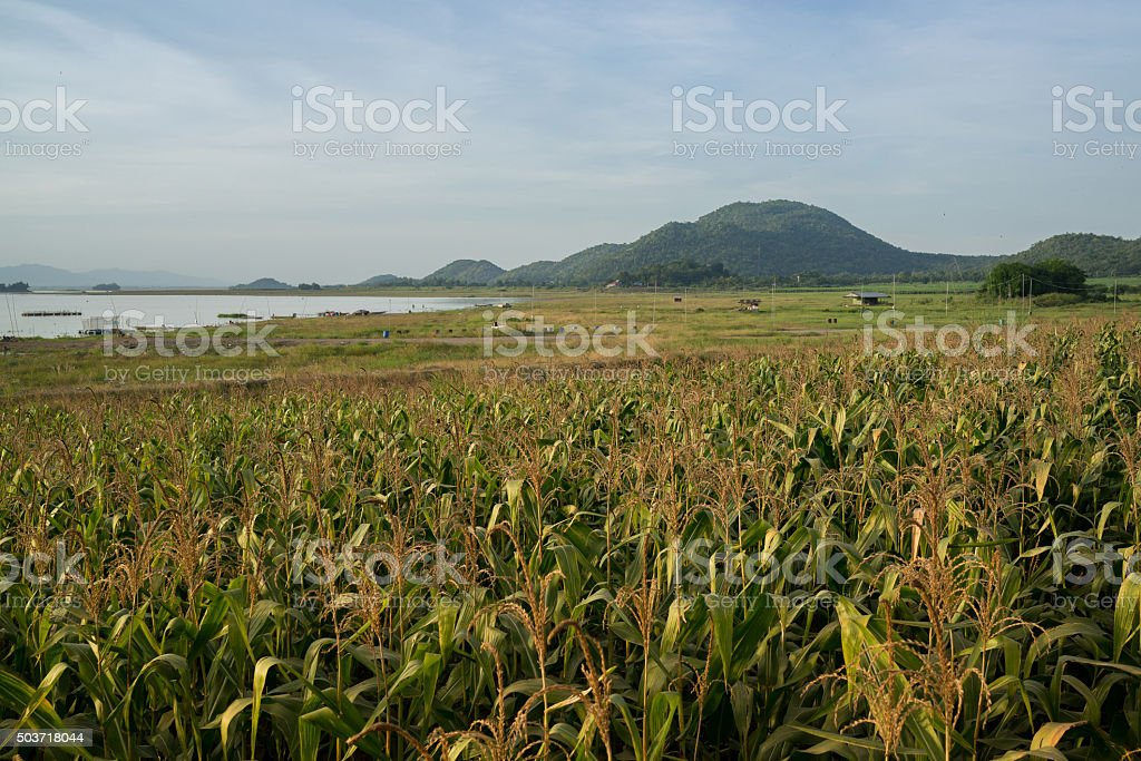 Maïs farm près du lac dans la campagne de Thaïlande photo libre de droits