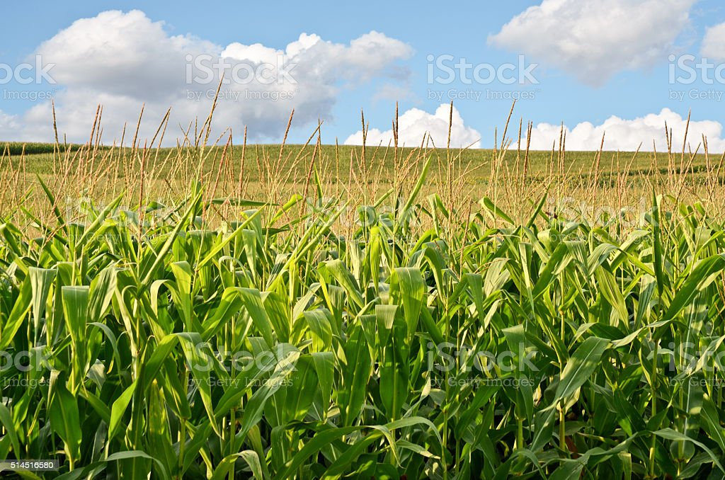 Corn Farmland stock photo