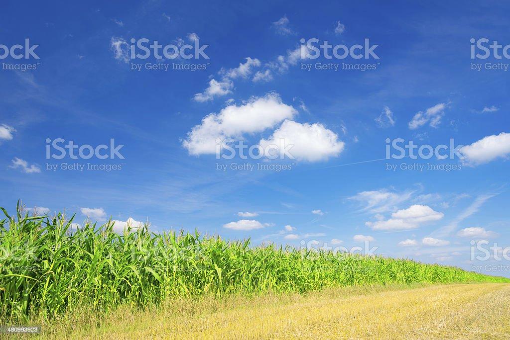 Corn Field - 36 Mpx royalty-free stock photo