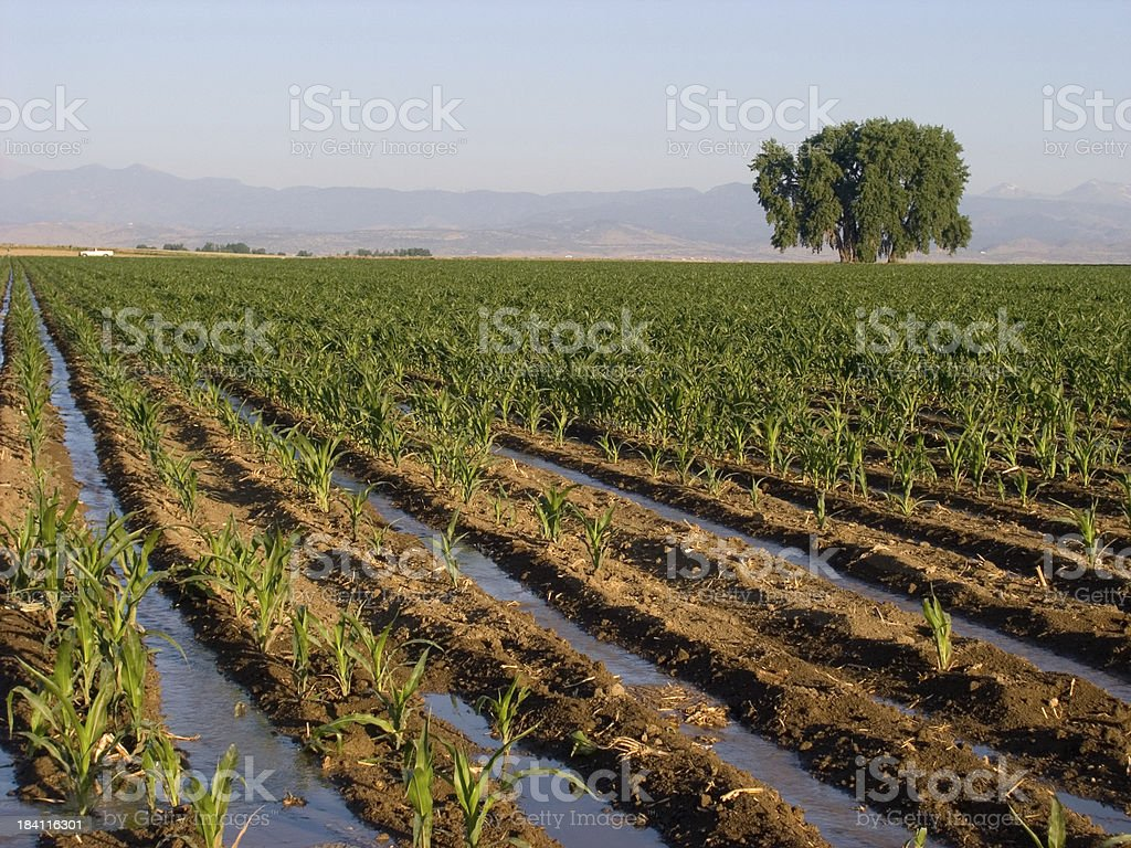 Corn Field 5 royalty-free stock photo