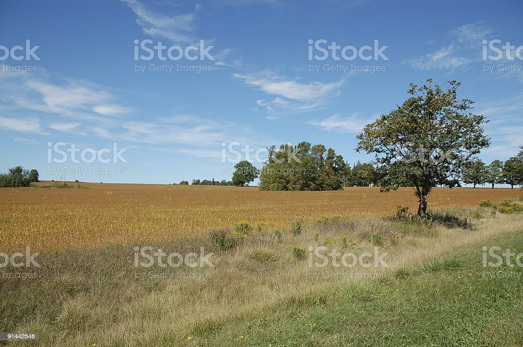 Corn field after harvest royalty-free stock photo