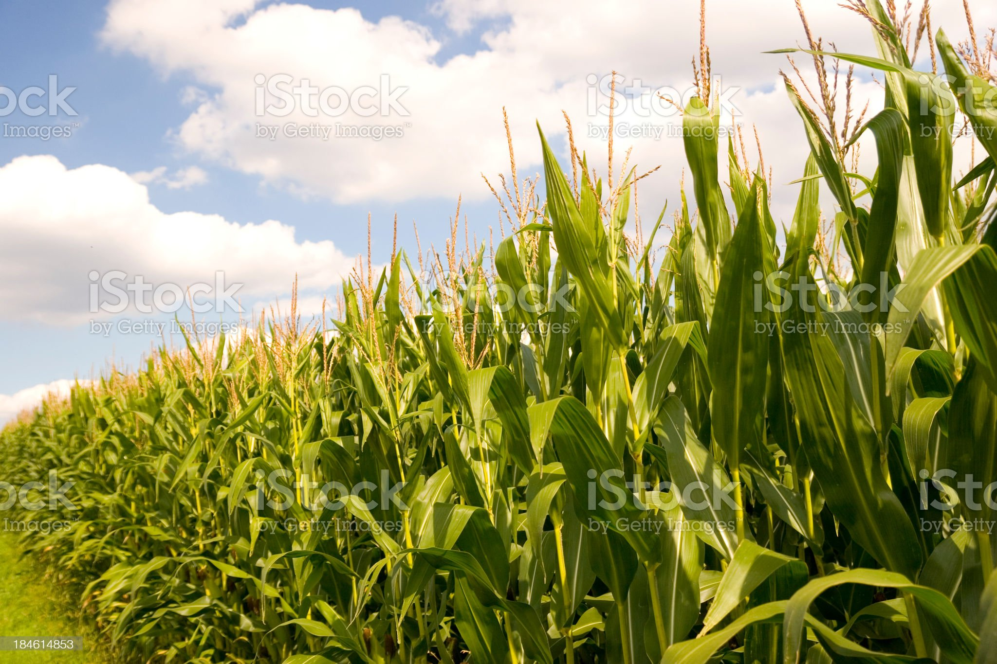 Corn Field Against Blue Cloudy Sky royalty-free stock photo
