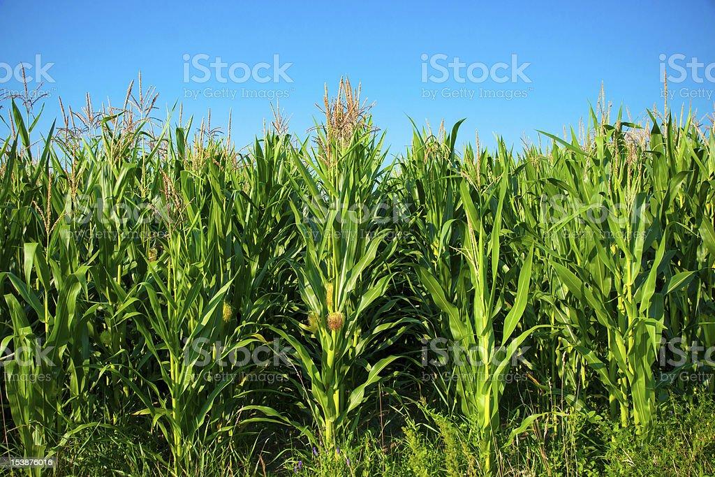 Corn Field Against Blue Sky stock photo