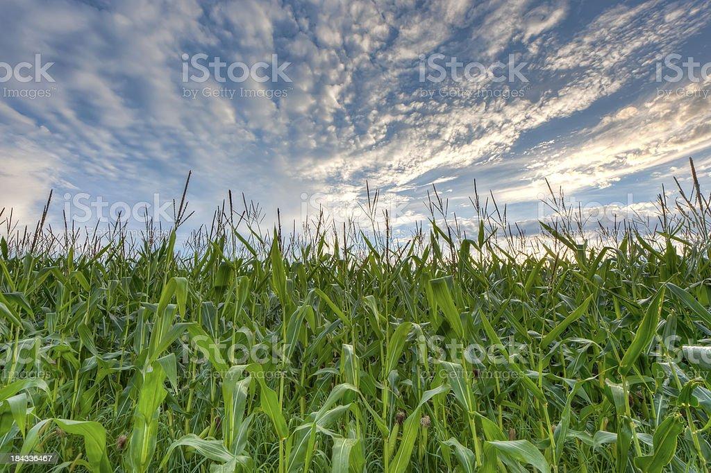 Corn field against cloudscape sky stock photo