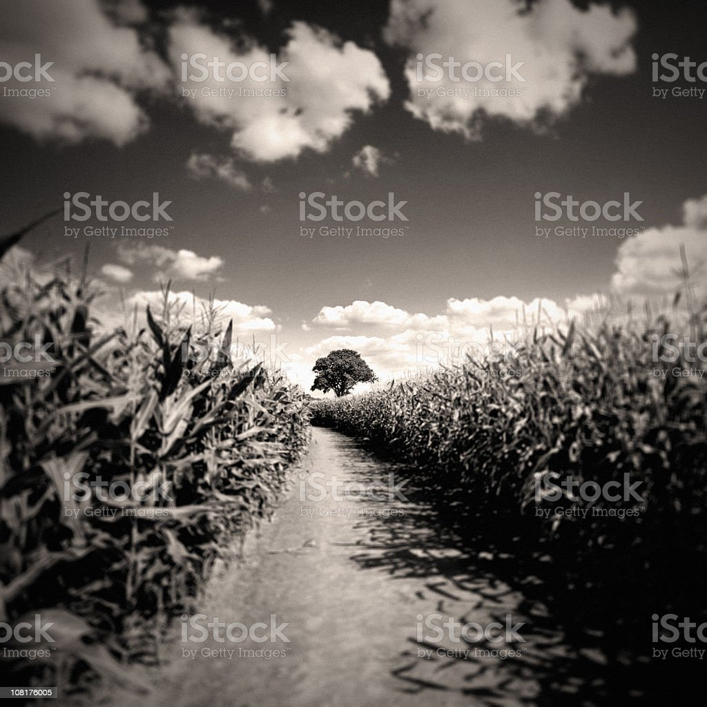 Corn Field Against Cloudy Sky, Black and White stock photo