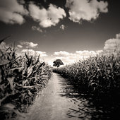 Corn Field Against Cloudy Sky, Black and White
