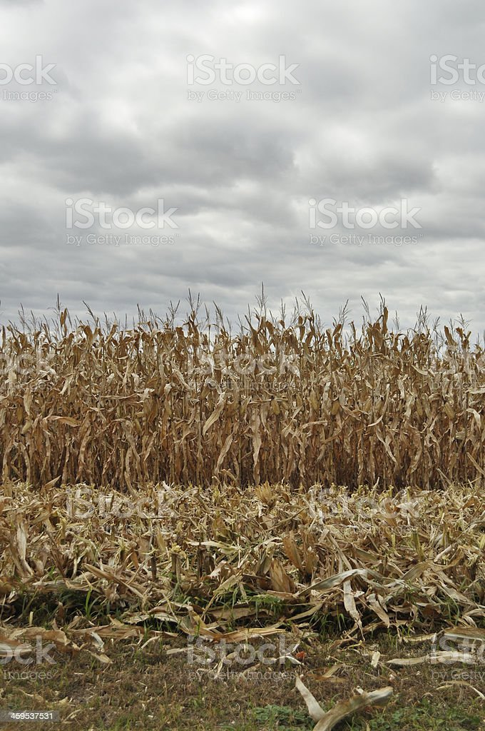 Corn Field and a Dark Cloudy Sky royalty-free stock photo