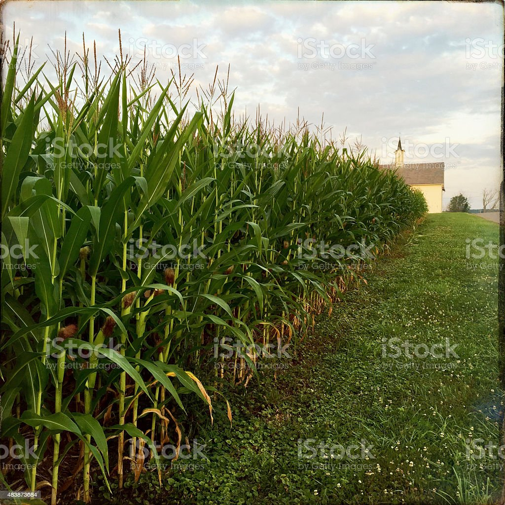 Corn Field and Barn in Late Summer stock photo