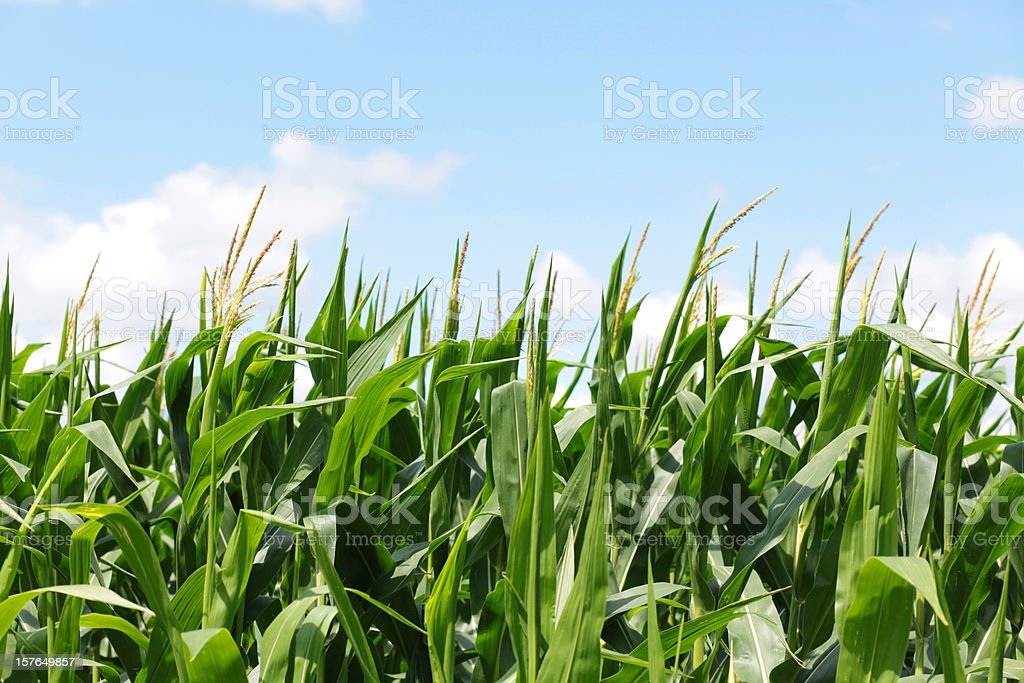 Corn Field and Blue Sky Horizontal royalty-free stock photo