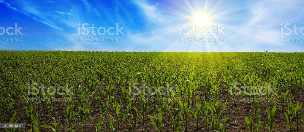 Corn  Field  and bright blue sky. stock photo