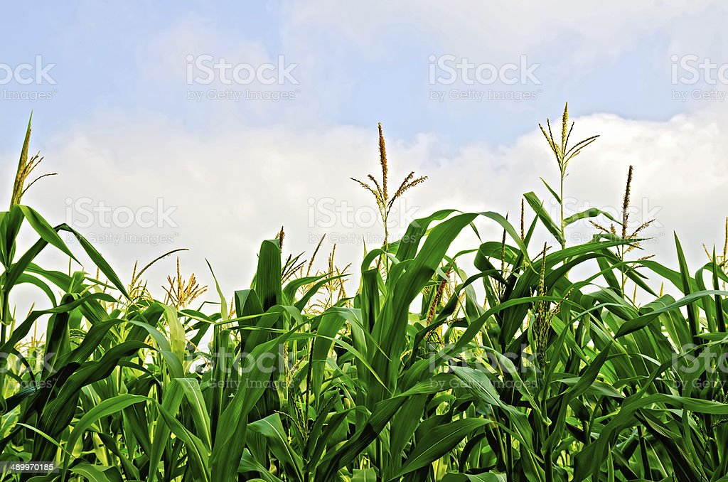 Corn field and sky stock photo