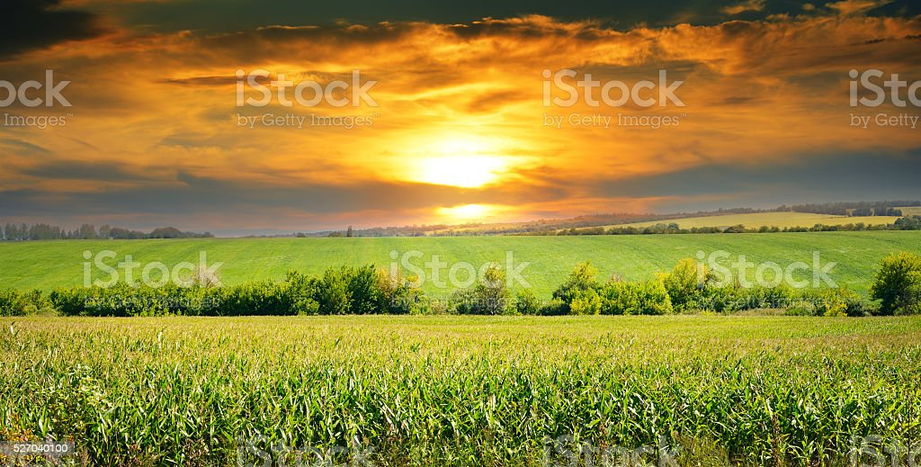 corn field and sunrise on blue sky stock photo