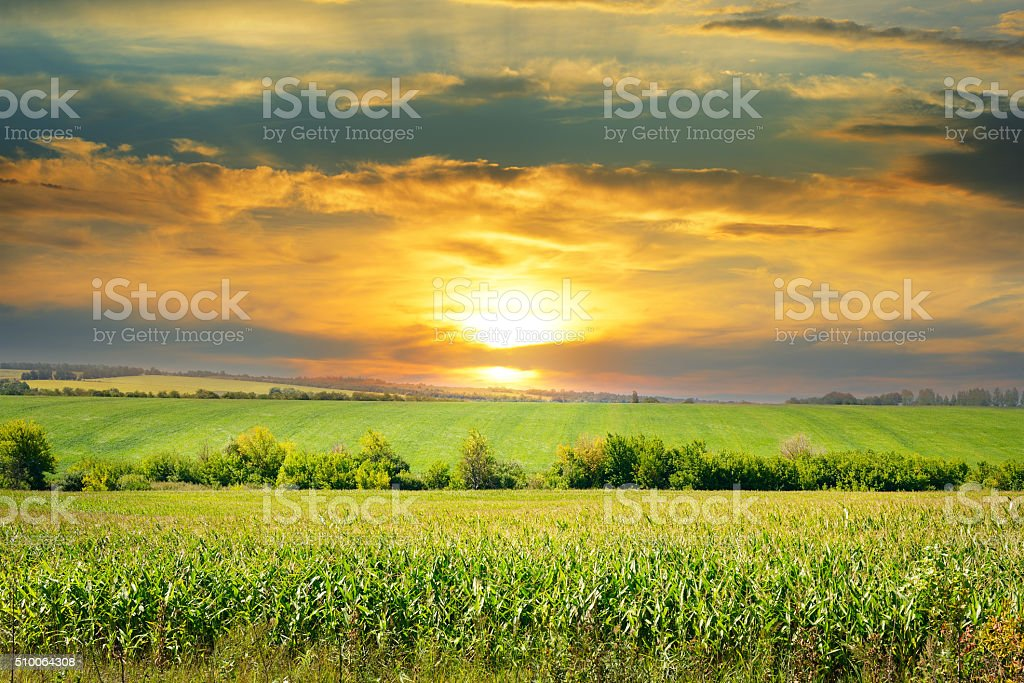 corn field and sunrise stock photo