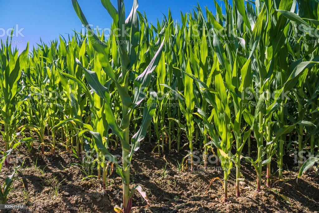 Corn field in Catalonia stock photo