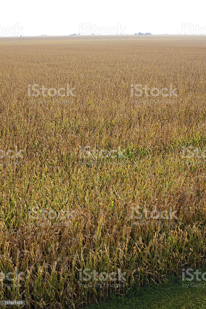 Corn field in late fall royalty-free stock photo