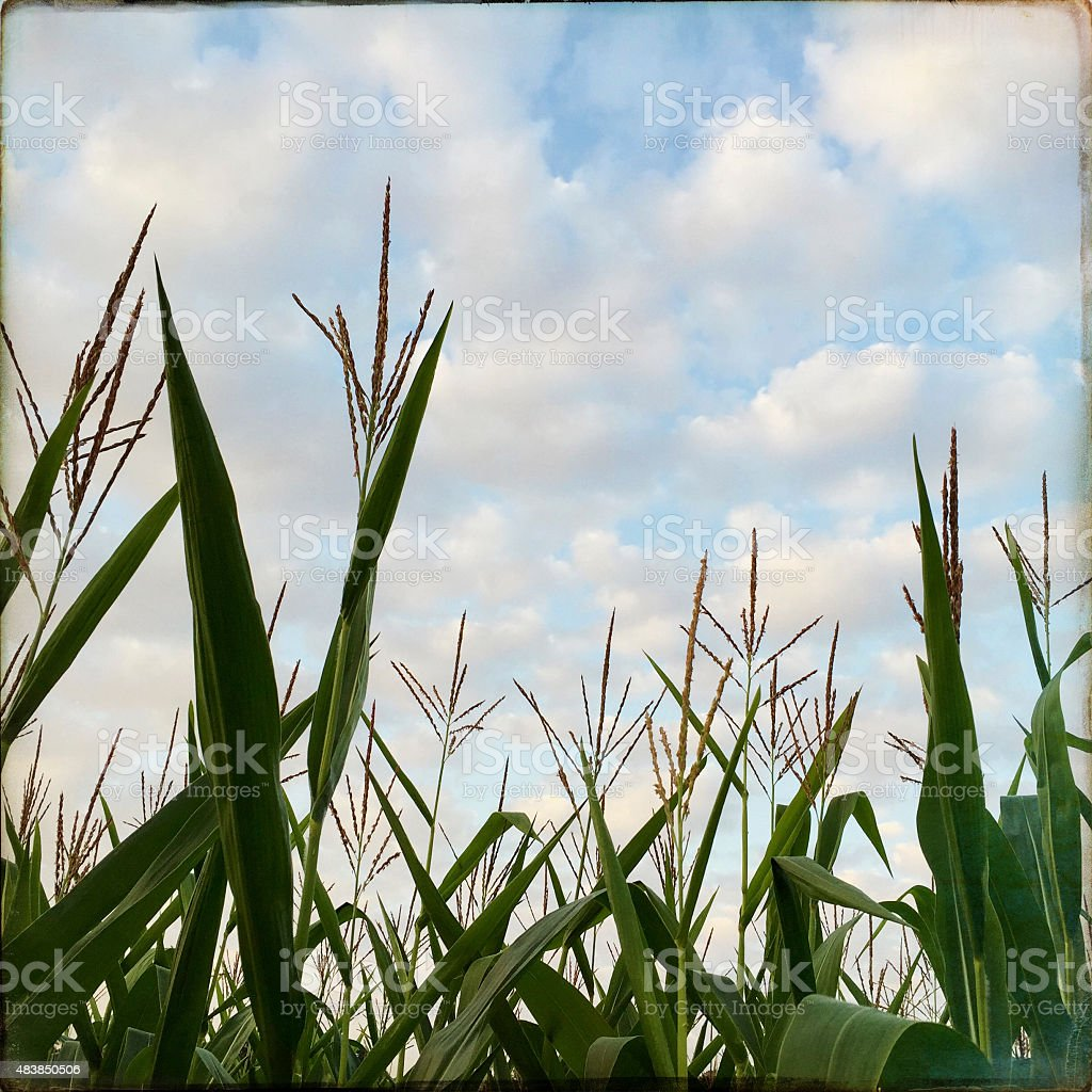 Corn Field in Late Summer with Cloudscape stock photo