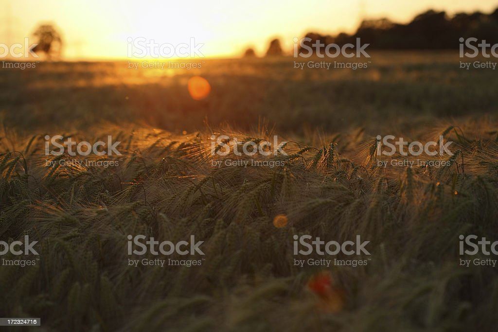 corn field in sunset (flares) royalty-free stock photo