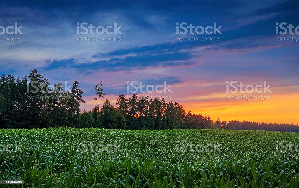 corn field near the wood on sunset royalty-free stock photo