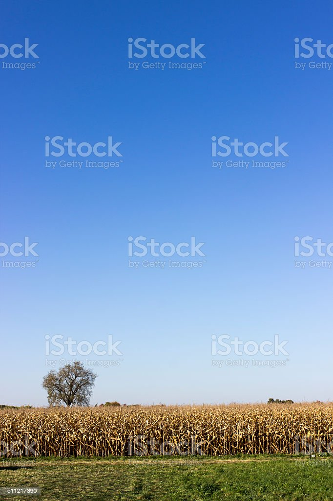 Corn field on a clear day stock photo