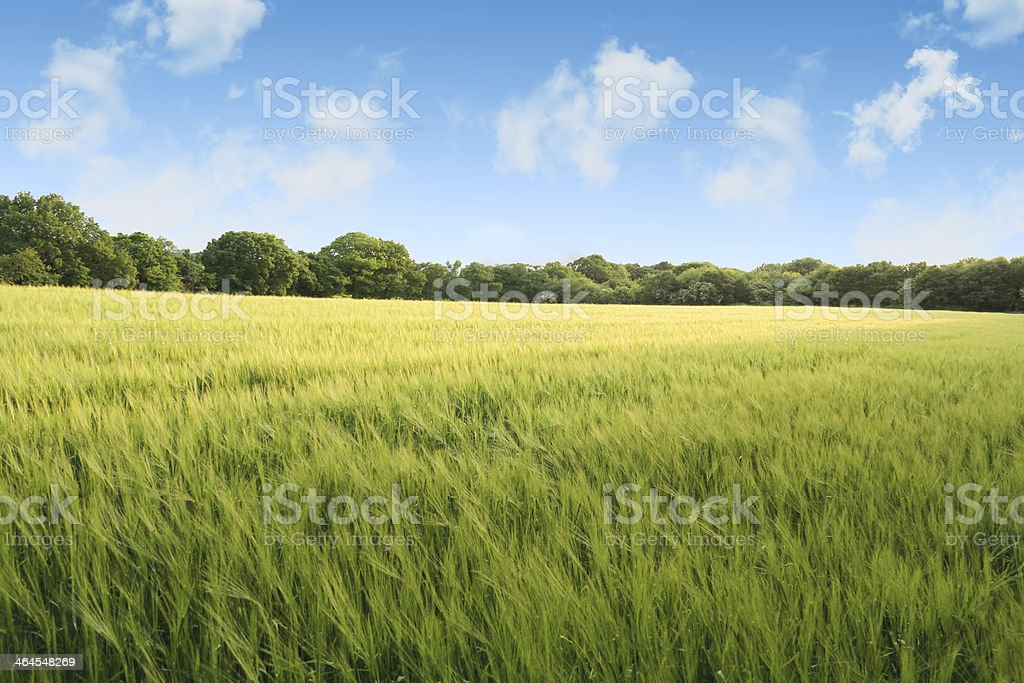 Corn field on a summers day stock photo