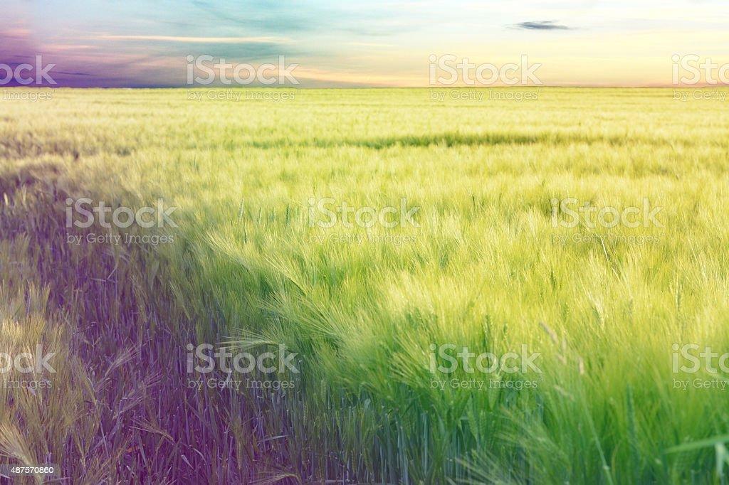 corn field on sad day stock photo