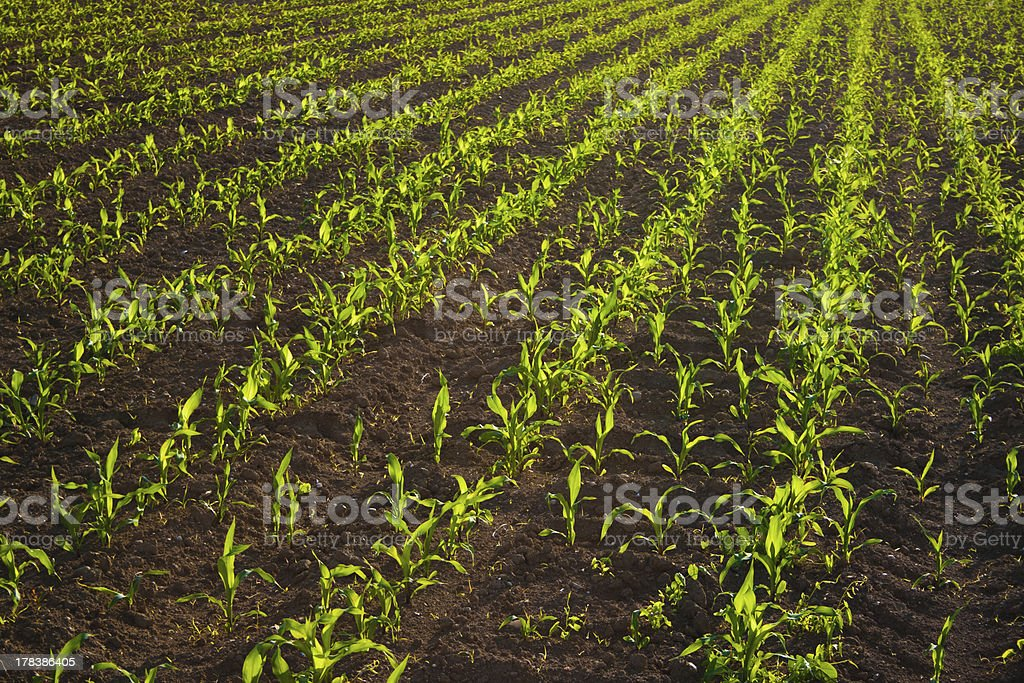 옥수수 필드 royalty-free 스톡 사진