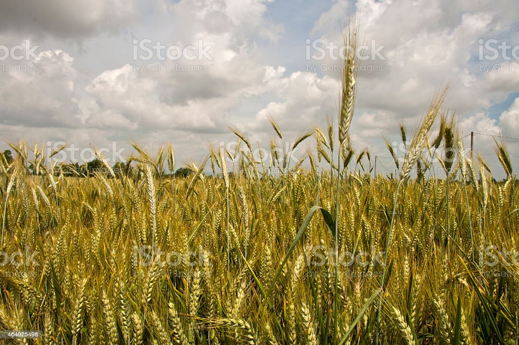Corn field stock photo
