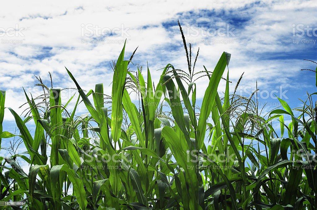corn field plants against blue cloudy sky stock photo