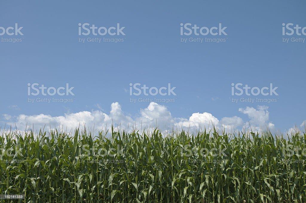 Campo de milho, macio nuvem, um céu azul foto royalty-free