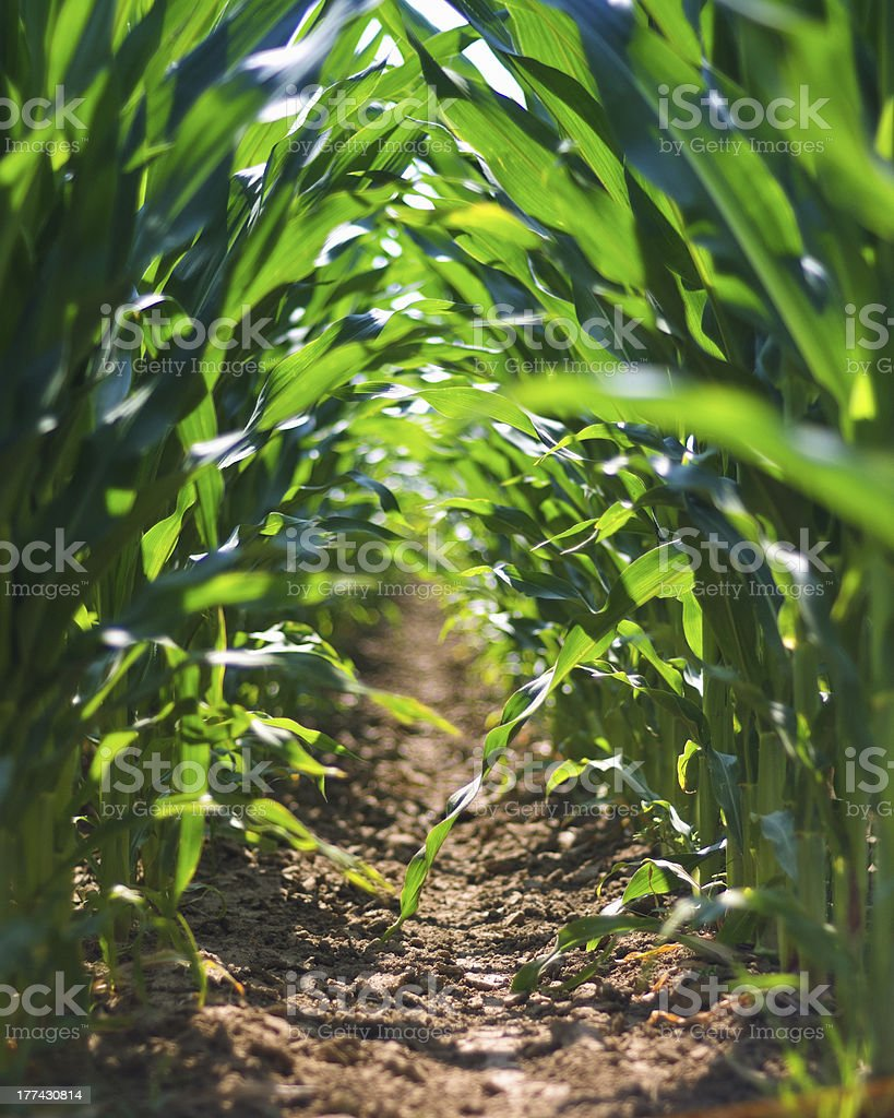 Corn field row stock photo