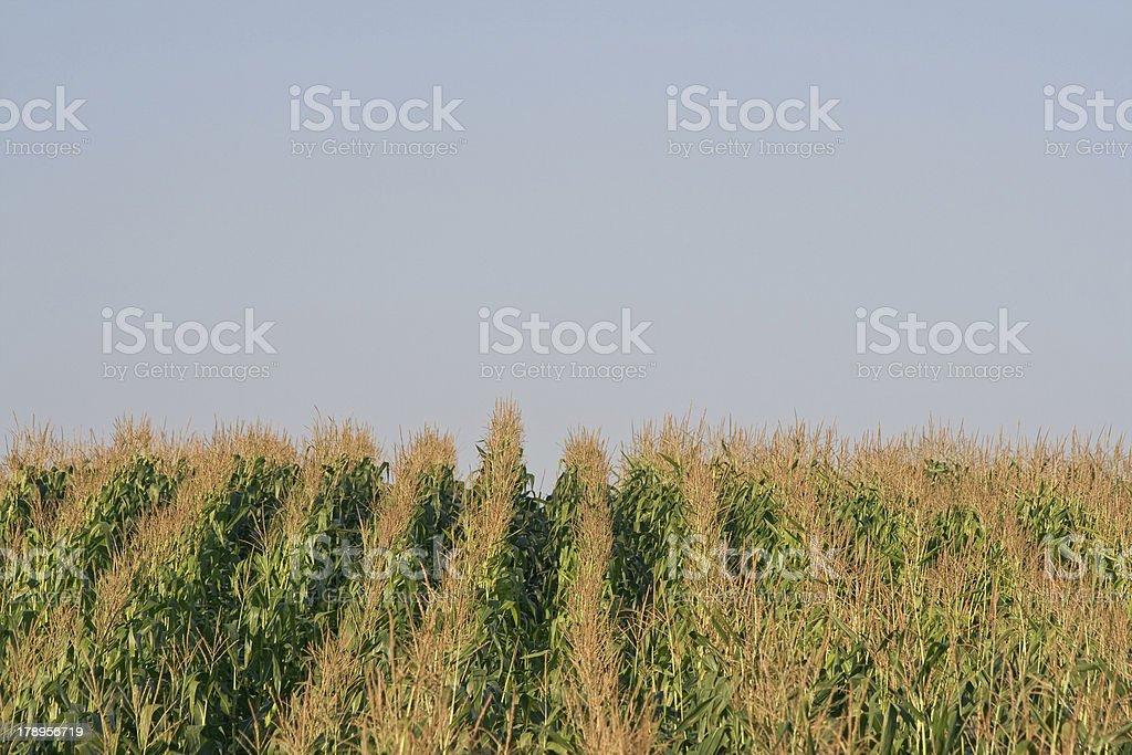 Campo de milho silhouetted contra Céu foto de stock royalty-free