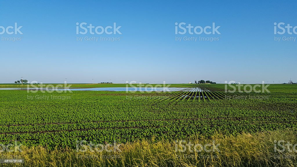 Corn field that has been flooded. stock photo