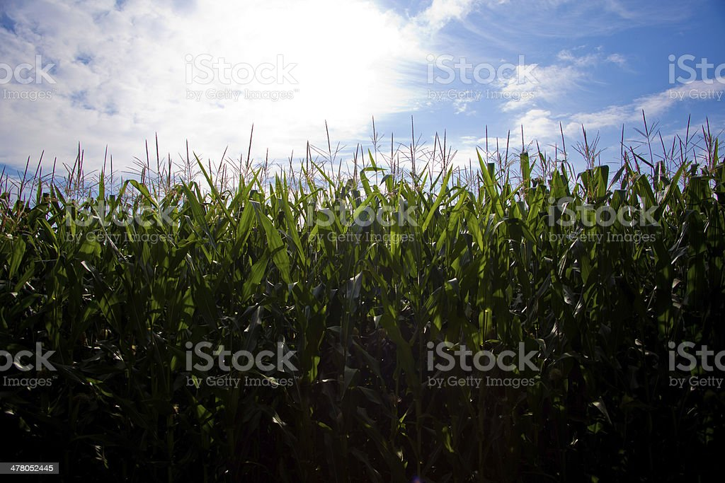 Corn field under a blue sky with clouds royalty-free stock photo