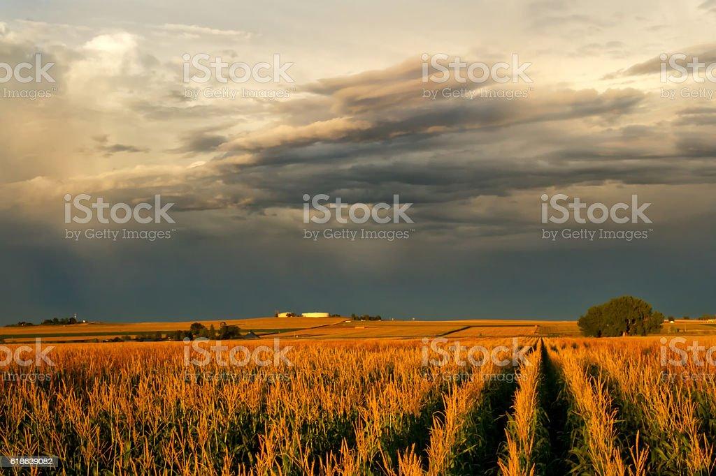 Corn Field under stormy cloudy skies stock photo