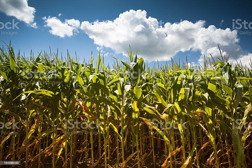 Corn field under the summer sun stock photo