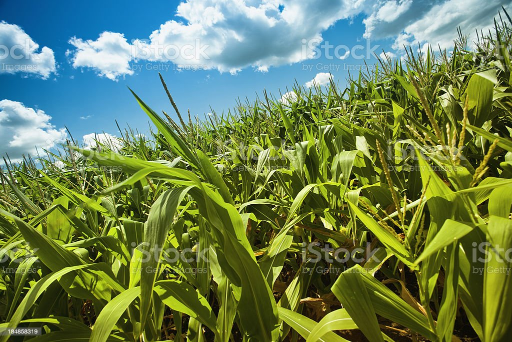 Corn field under the summer sun royalty-free stock photo