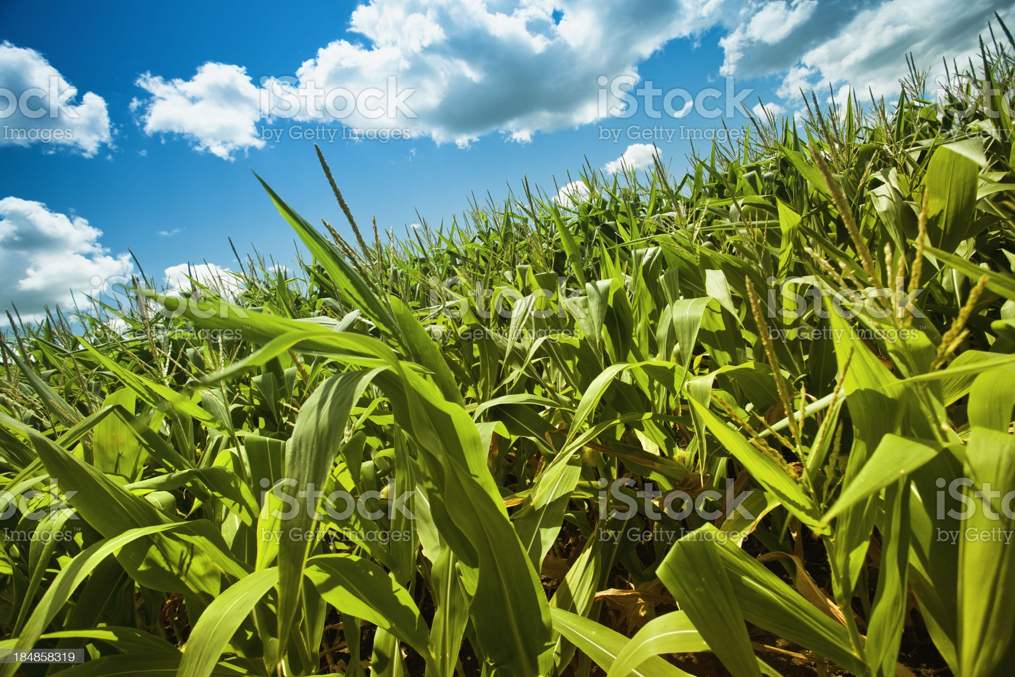 Corn field under the summer sun royalty-free stock photo