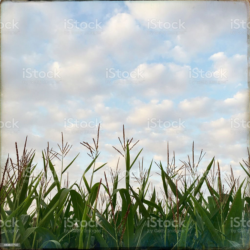 Corn Field with Blue Sky and Clouds stock photo
