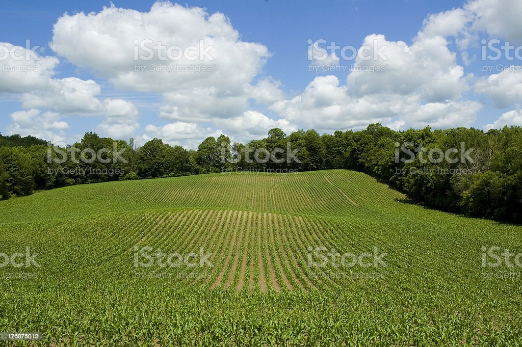 Corn Field with Blue Sky royalty-free stock photo