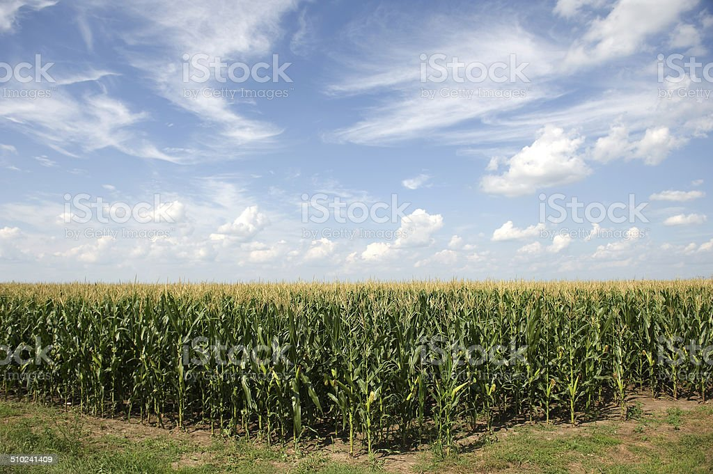 Corn field with clouds in blue sky background stock photo