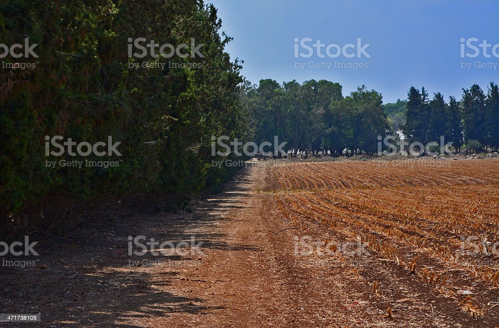 corn field with cybres trees royalty-free stock photo