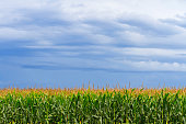 Corn field with storm clouds overhead